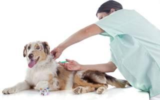 Как сделать прививку щенку в домашних условиях
