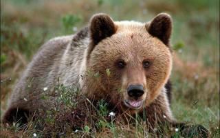 Описание медведя