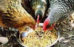 Чем кормить куриц несушек: запрещенные продукты