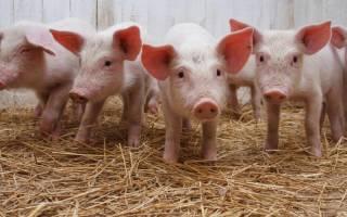 Свиньи в Украине: выращивание и разведение
