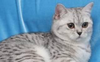 Как развивать вислоухого британского котенка