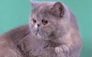 Экзотическая короткошерстная кошка: уход