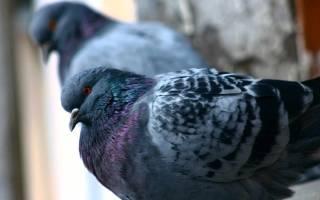 Где живут птенцы голубей