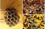 Пчела и шмель: основные отличия