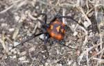 Ядовитый паук каракурт