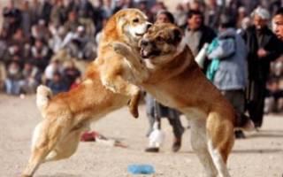 Лучшие, самые сильные бойцовские собаки