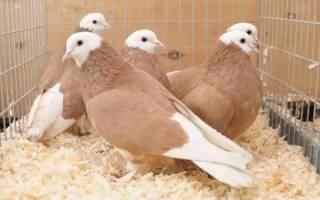 Пестрые голуби: порода, описание, виды
