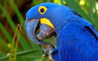 Гиацинтовый ара: сколько лет живет птица