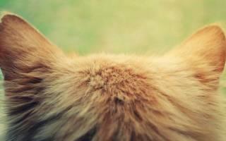 Клещи в ушах у кошек
