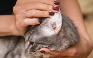 Проблемы с ушами у кошек