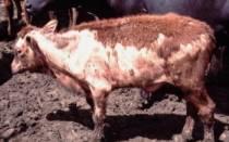 Шерсть коровы: почему у коровы выпадает шерсть