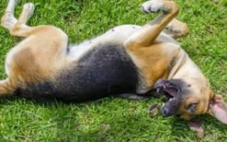 Что делать, если у собаки судороги