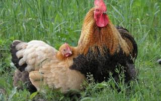 Цыплята: кросс, порода, линия
