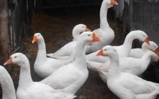 Гусята породы линда: выращивание гусят в домашних условиях