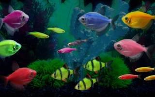 Совместимость рыбок тернеция