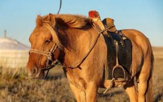 Чем отличается монгольская лошадь: внешний вид, характеристики породы