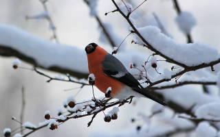 Что едят снегири зимой