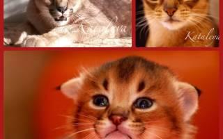 Каракет – самый редкий гибрид кошки