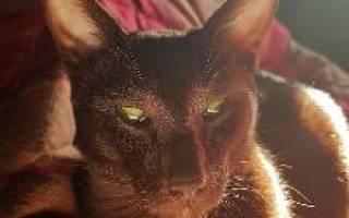 Кошка гавана браун