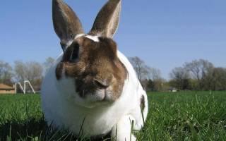 Породы кроликов: карликовый кролик рекс