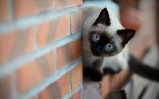 Происхождение сиамских кошек