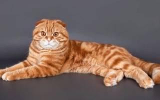 Шотландская рыжая кошка по характеру