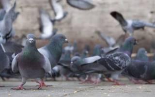 Как отпугнуть голубей с подоконника