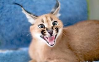 Как ведет себя кошка каракал в домашних условиях