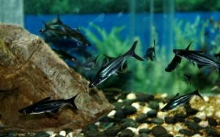Пресноводная акула в аквариуме