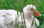 Болезни гусей: заболевания ног у гусей