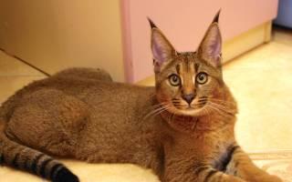 Как называются кошки с кисточками на ушах