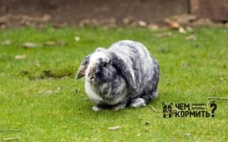 Чем кормить голландского карликового вислоухого кролика