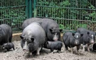 План свинарника: навозоудаление в свинарниках