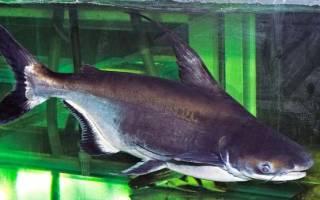Акулий сом: разведение