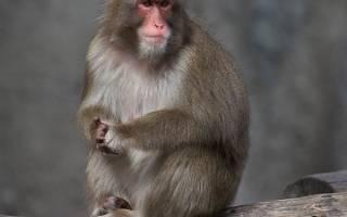 Обезьяна макака: описание, среда обитания