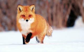 Как живет лиса зимой в лесу и чем она питается