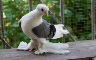 Все о голубях: бакинские голуби шейки
