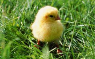 Как ухаживать за суточными цыплятами: ящики для цыплят