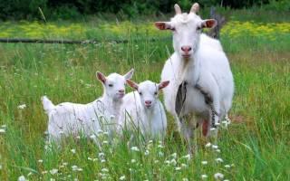 Ложная беременность козы