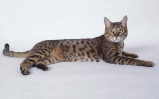 Калифорнийская сияющая кошка: особенности породы