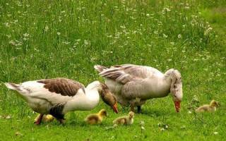 Гусята: уход за новорожденными гусятами