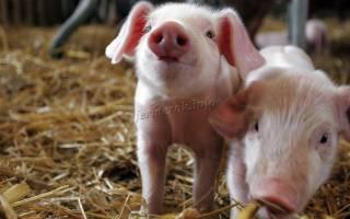 Чем кормить маленьких поросят: советы свиноводу