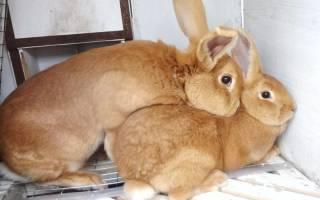 Спаривание кроликов после окрола