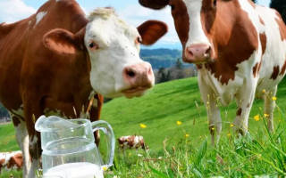 Сколько лет живут домашние коровы при правильном уходе