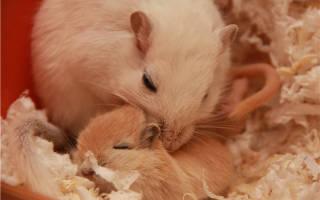 Песчанки: размножение в домашних условиях