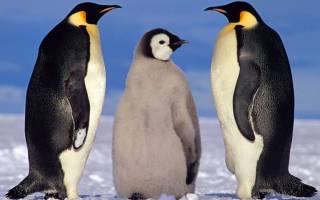 Интересное о пингвинах