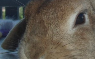 Почему у кролика упало ухо: советы ветеринара