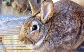 Понос у кролика: причины и лечение