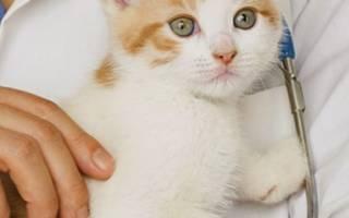 Как вывести блох у маленьких котят: простые средства