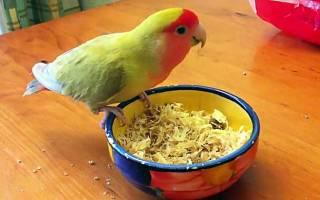 Попугаи неразлучники: питание